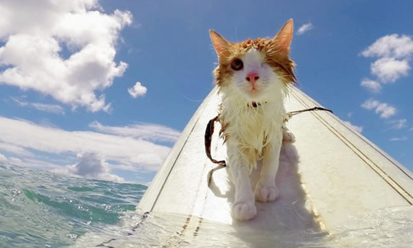 This Adorable One-Eyed Cat Loves Swimming And Surfing In Hawaii - 9GAGN Cat Hawaii