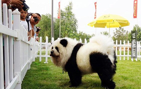 Look at me, I'm a Panda