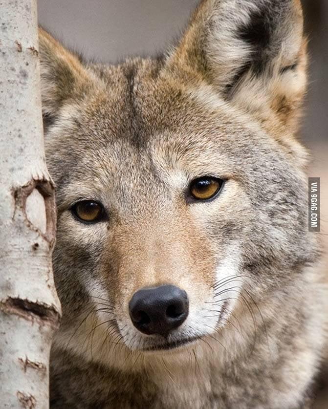 Image Gallery sad wolf