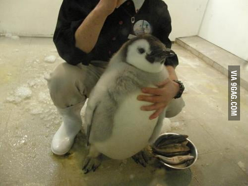 Cute, chubby penguin