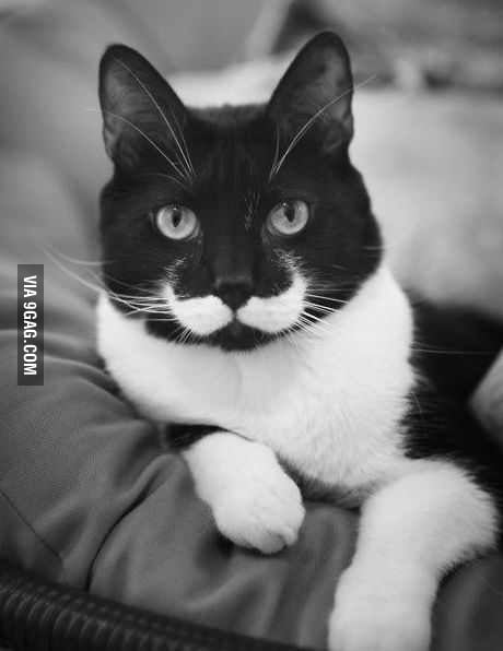 Cat Stache Like a Sir