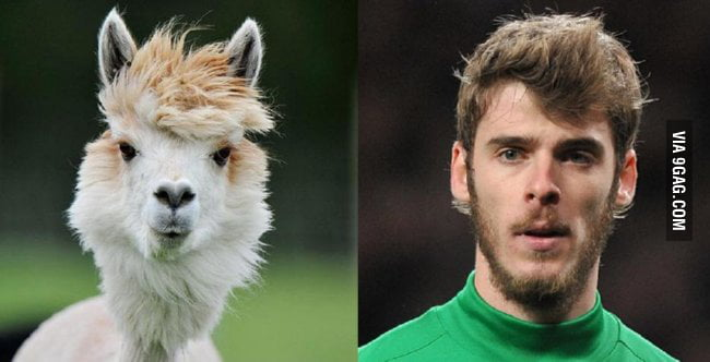 David De Gea & A Windswept Alpaca