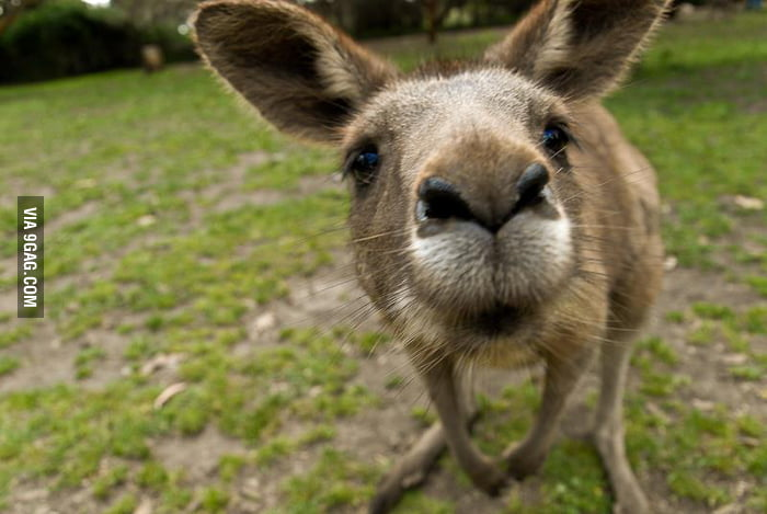 Curious kangaroo says hello