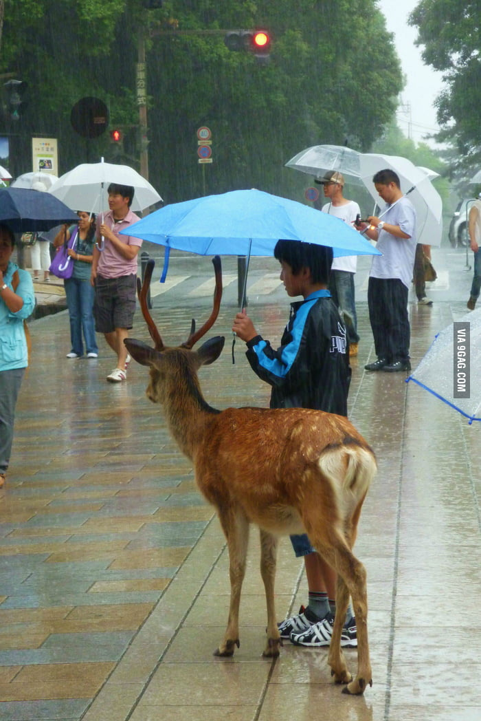 A kid sharing his umbrella with a deer (in Japan)