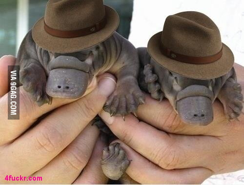 Just 2 Platypus Agen