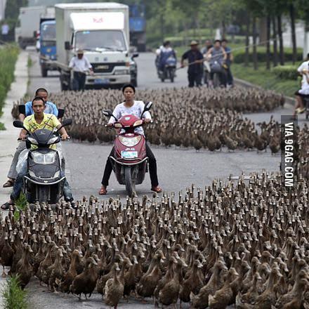 Duck duck duck duck duck....