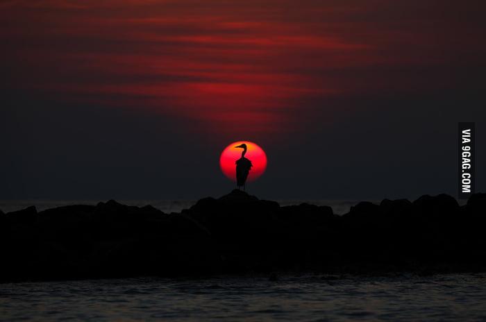 Grey Heron at Sunset