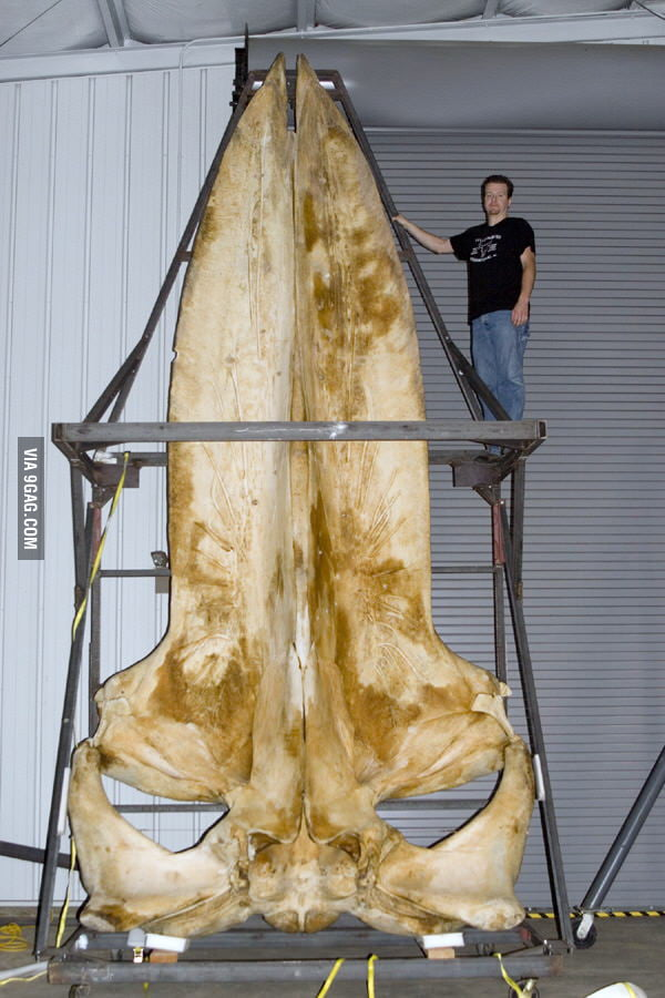 I present to you the skull of a blue whale.