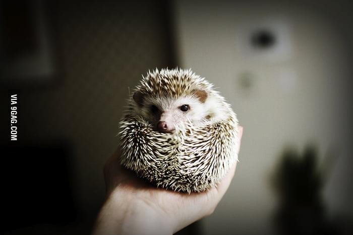 angry hedgehog 9gag