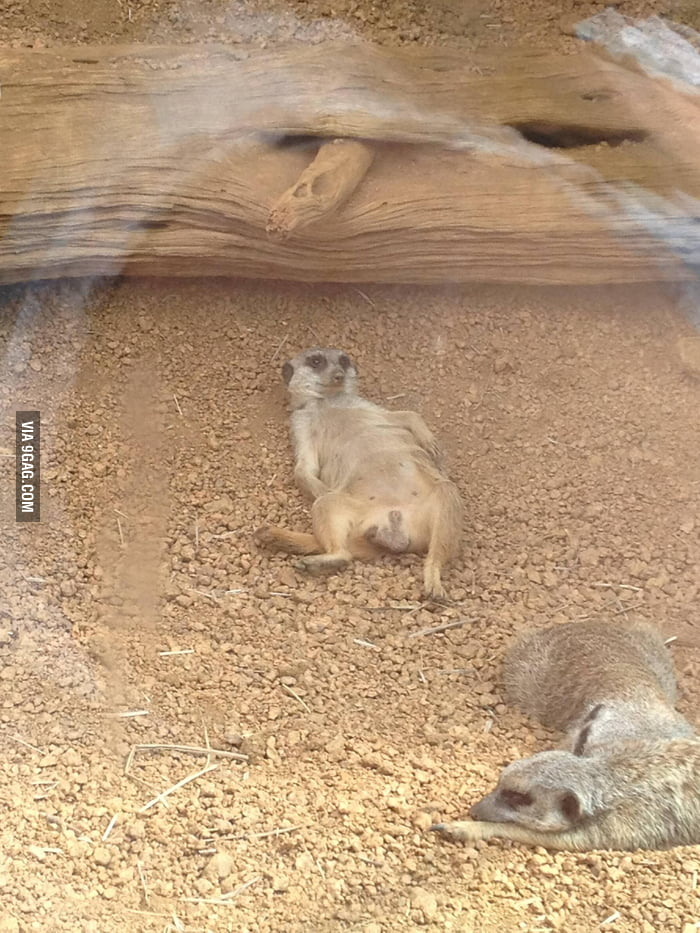 Went to the zoo yesterday. This meerkat gave zero f**ks.
