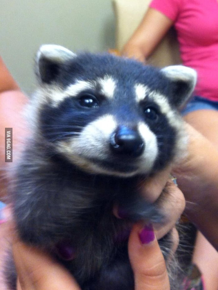Someone brought this baby raccoon into my office last week..