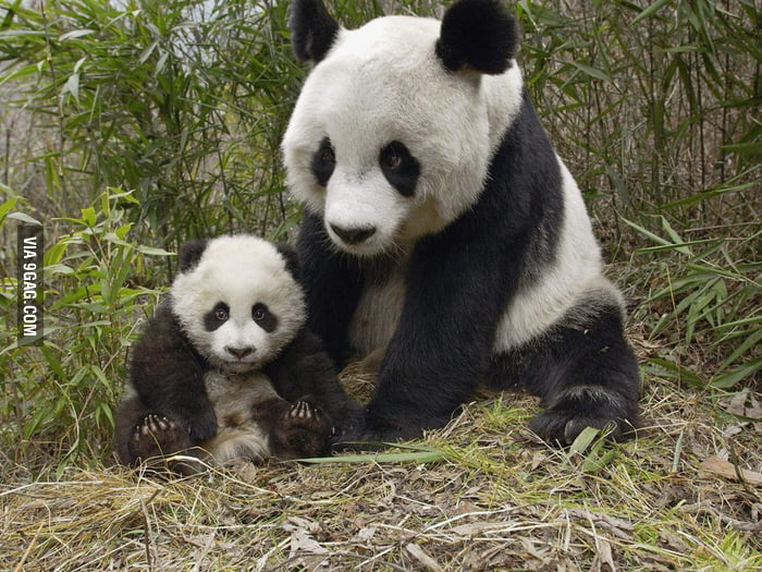 Baby Panda and his Mom