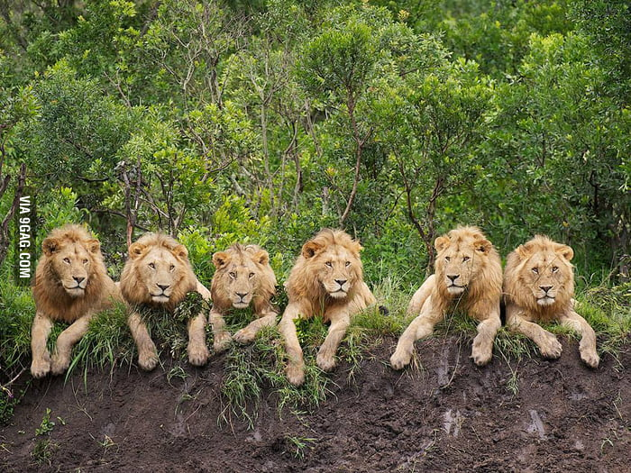 6 Chilling Lions