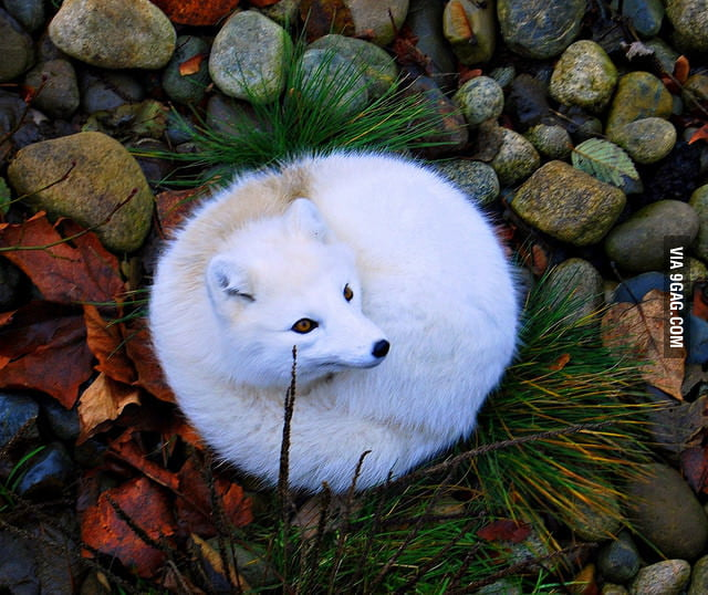 Radiant Arctic fox