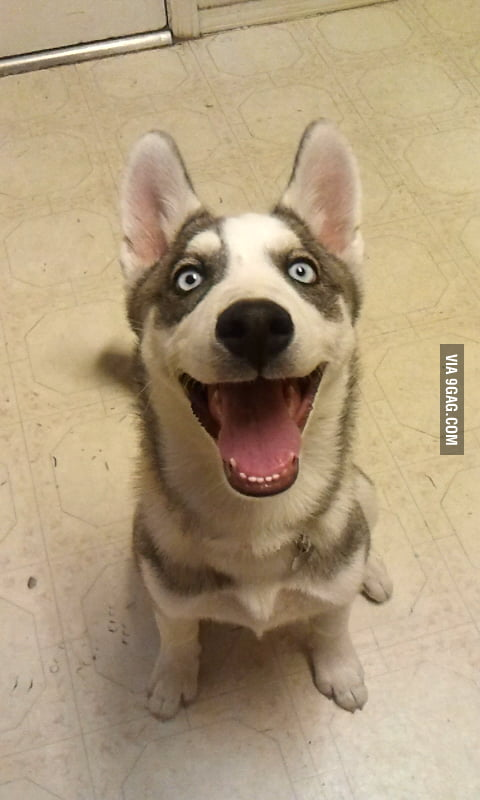 Happy husky is happy!
