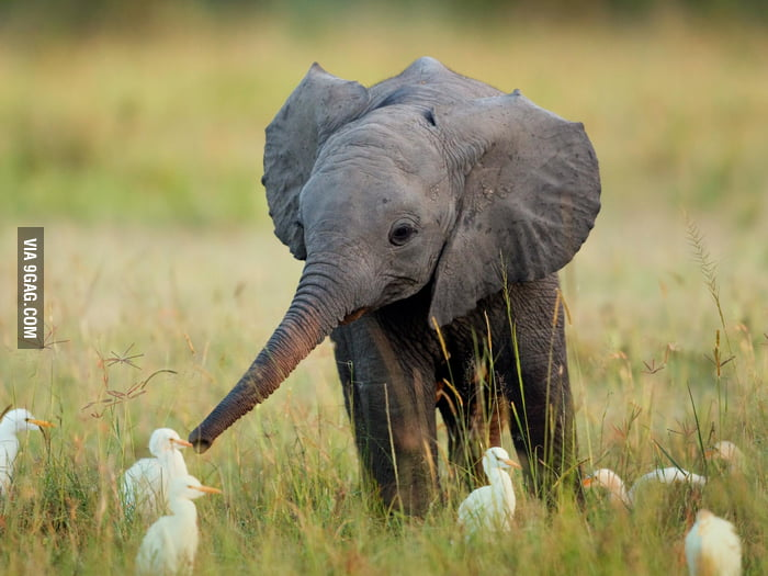 Baby elephant with ducks