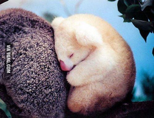 Who can say no to an albino baby koala?