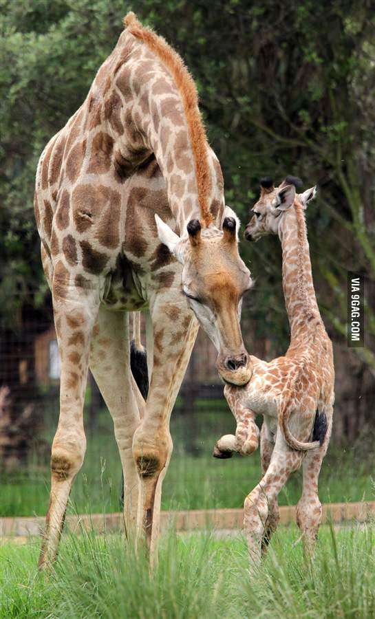 Mother giraffe teaching her son how to walk