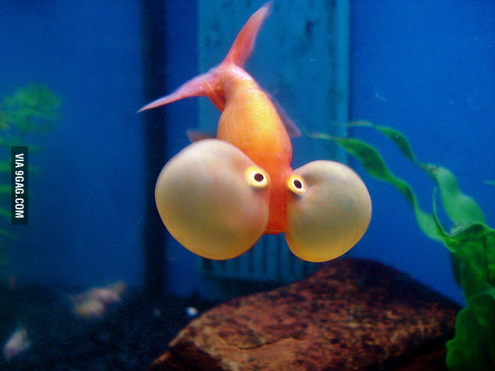 This fish doesn't know it can breath underwater.
