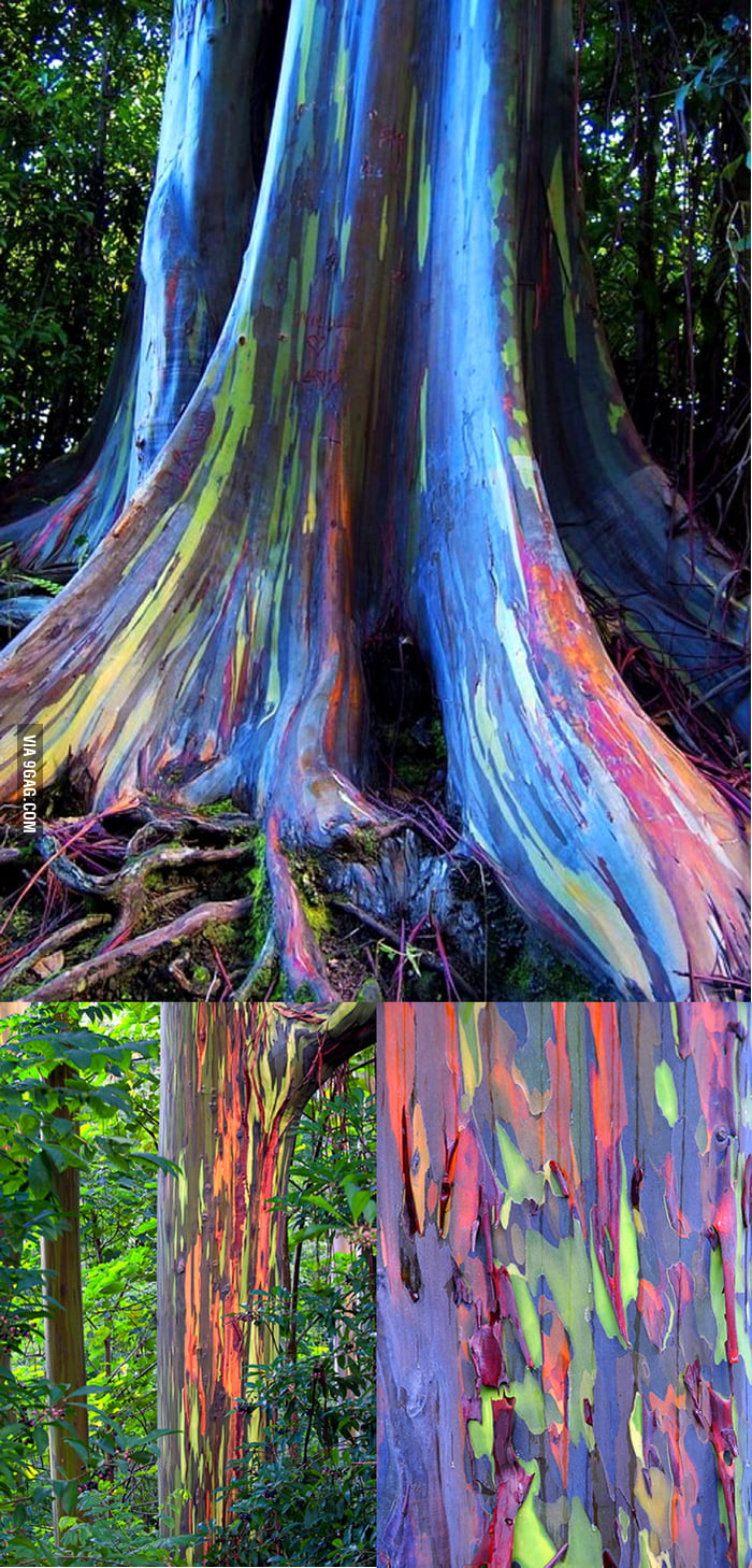 Here presents: Rainbow Eucalyptus!