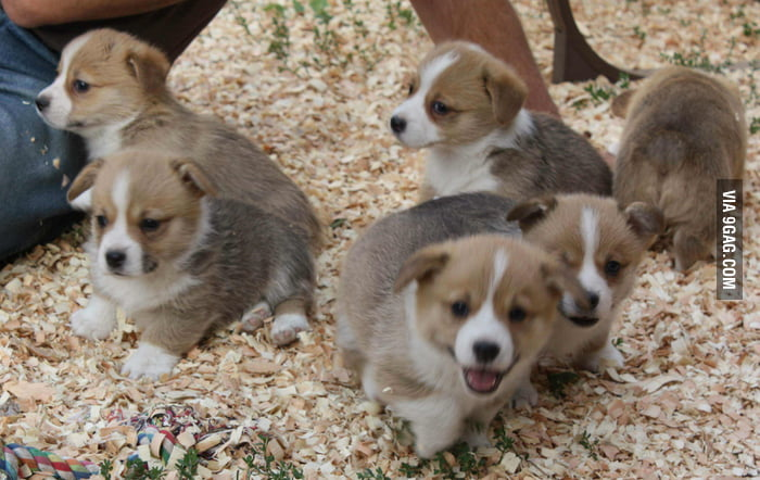 Corgi Puppies!