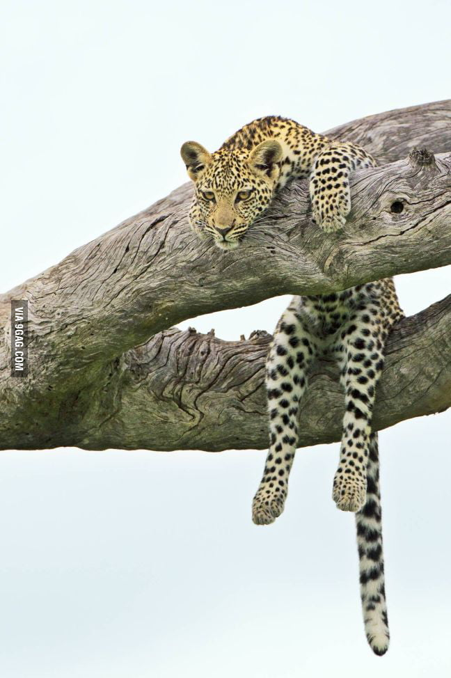 I don't want to to do anything, just like this leopard.