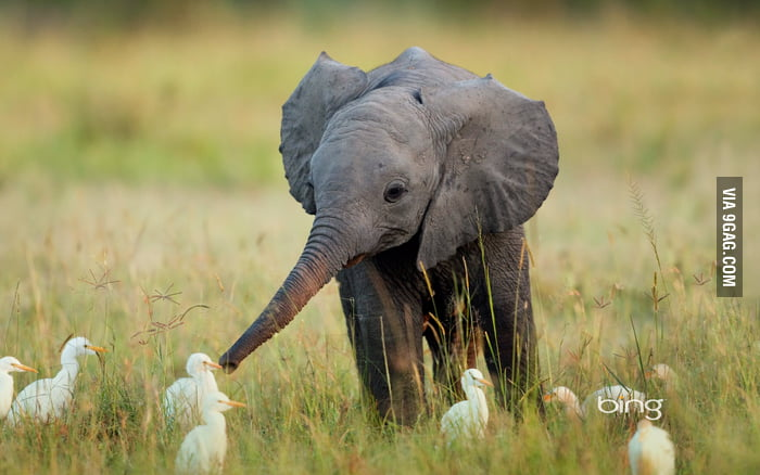 Just a baby elephant playing with birds.