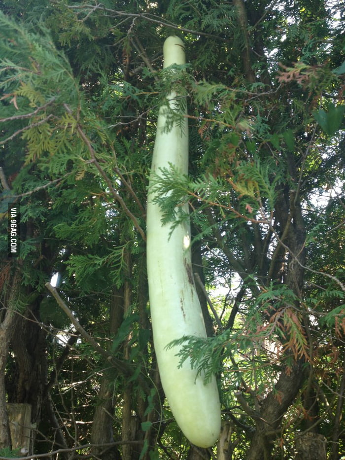 This is a big vine.