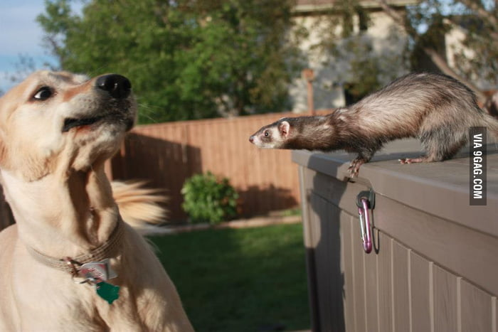 When dog meets ferret