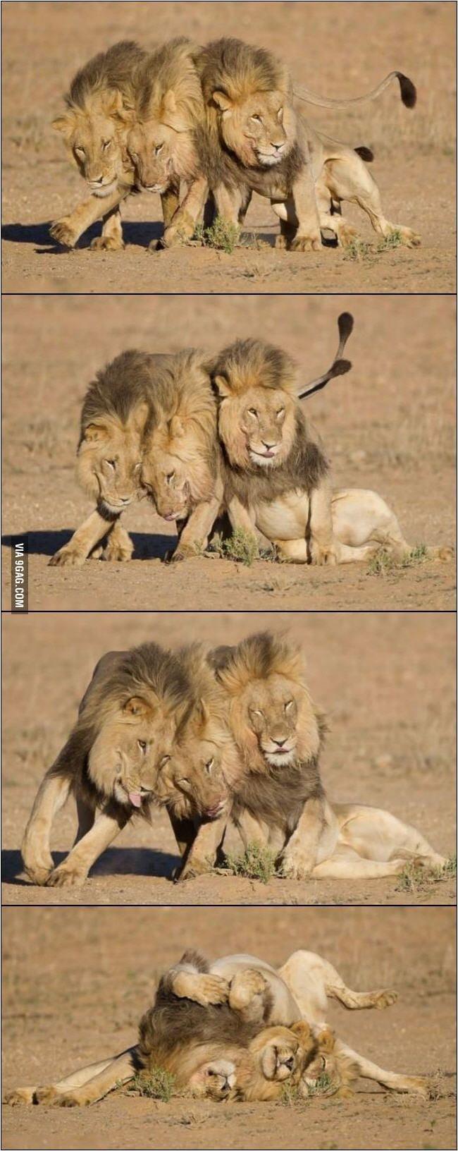 Drunk Lions