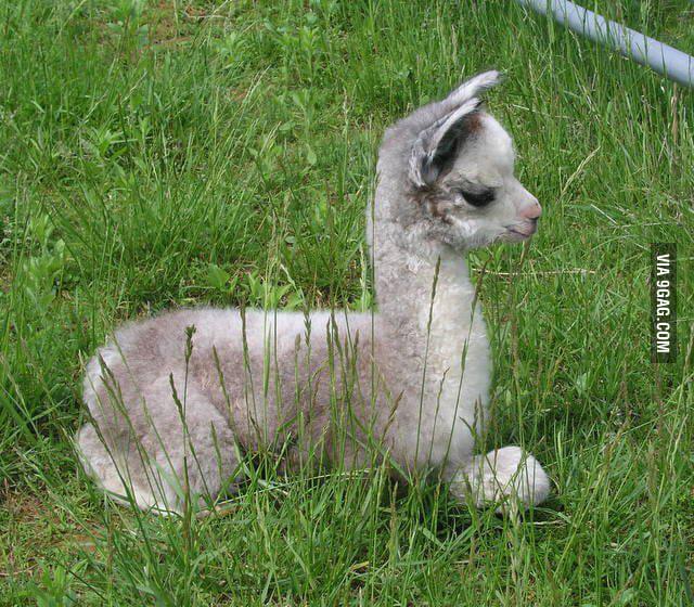 Baby alpaca.