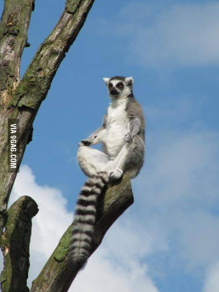 Just saw King Julien in the zoo.