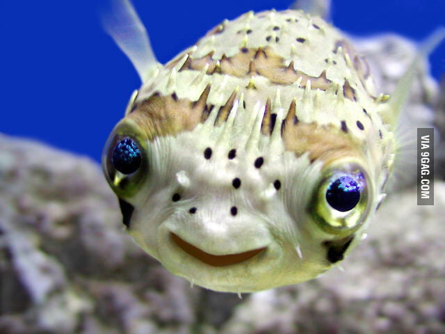 Cute Pufferfish