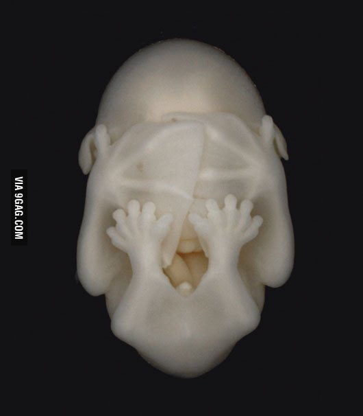 Bat embryo
