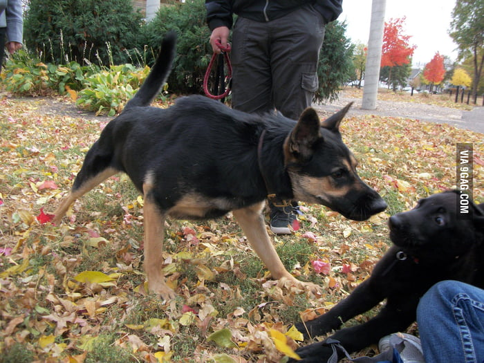 German shepherd puppy meets his new friend.