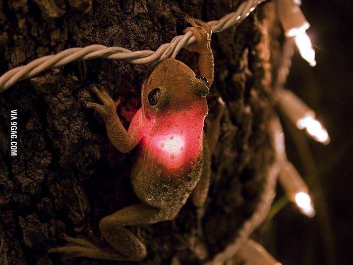 Tree frog eating a Christmas light.