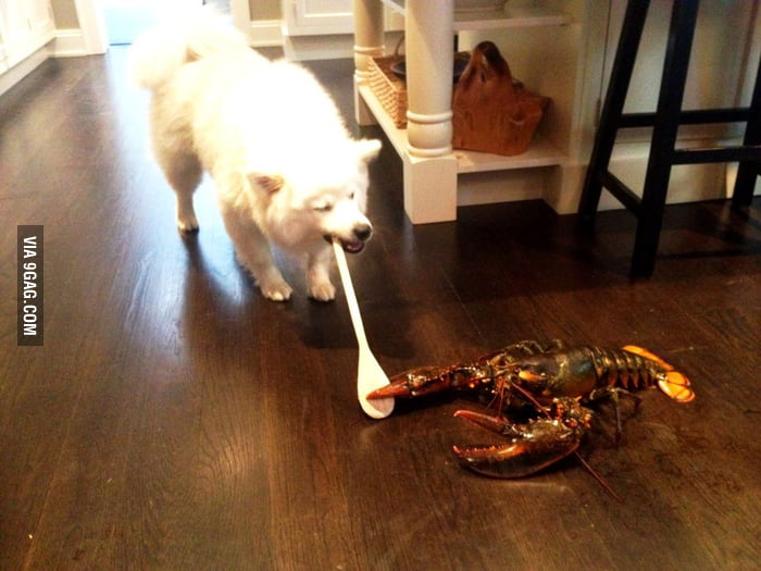 Husky vs Lobster