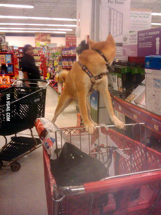 My extremely stubborn dog didn't want to get in the cart.