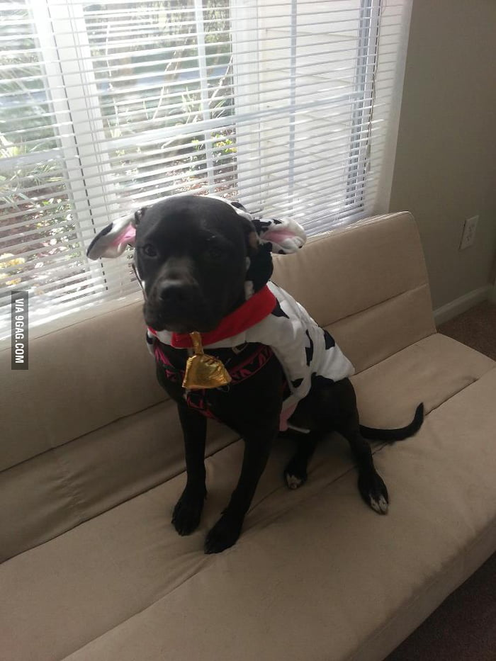 He's not a pitbull, he's a pitcow.
