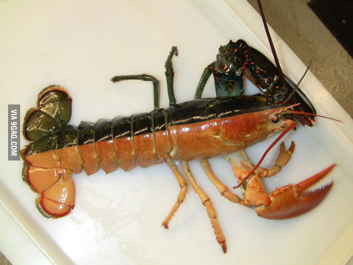 This lobster is half black, half orange.