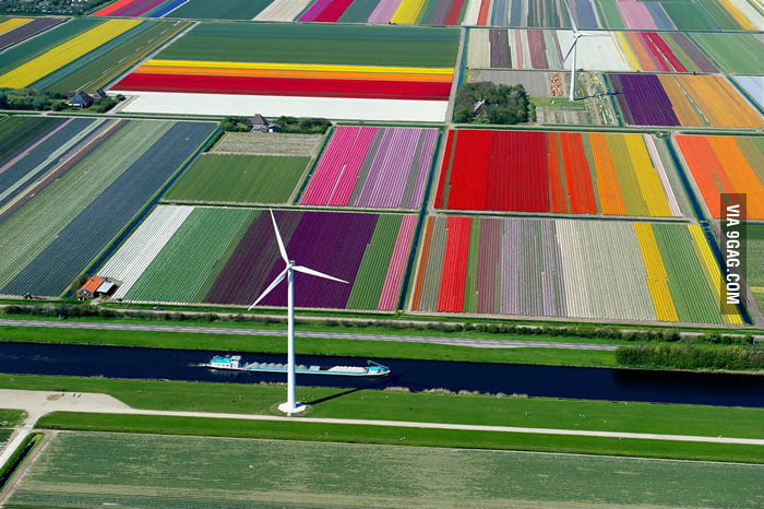 Tulip farms in the Netherlands.