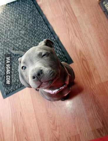 Ridiculously photogenic pit bull