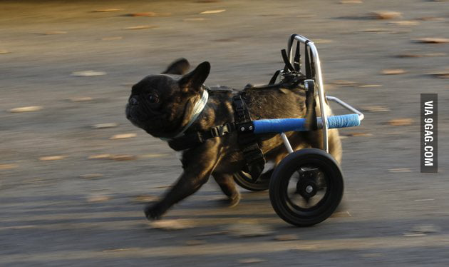 Paralyzed dog runs for first time!