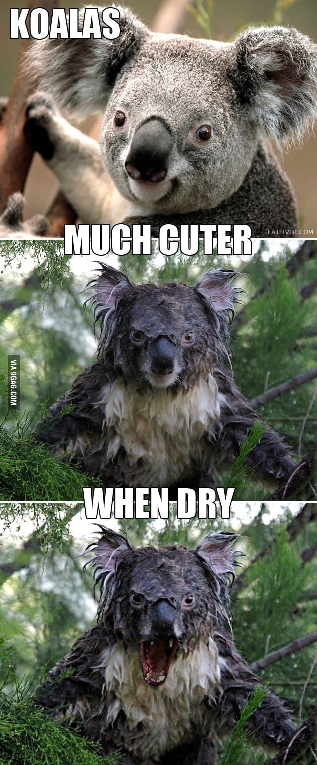 The truth about koalas