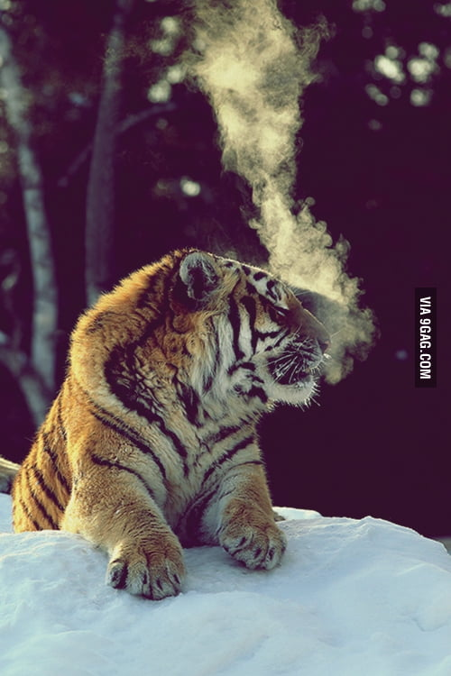 Smoking Tiger