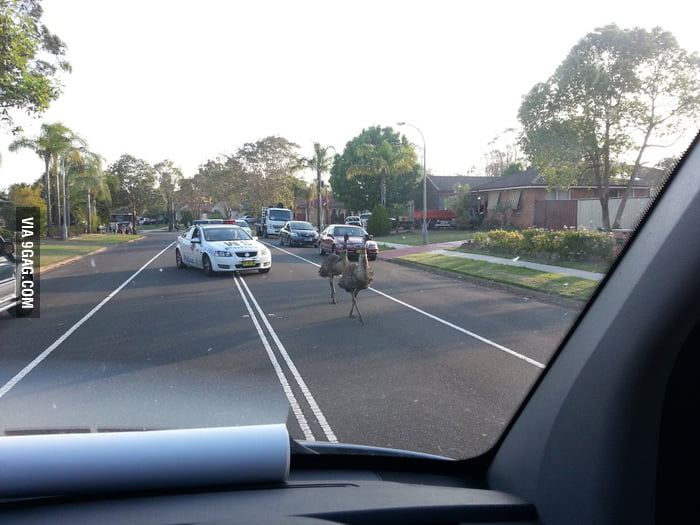 A normal day in Australia - the police chasing emus.