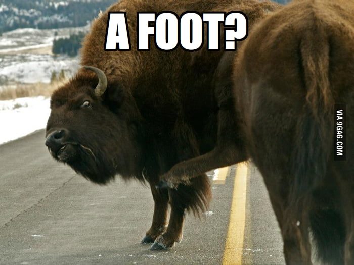 The ox is surprised by his foot.