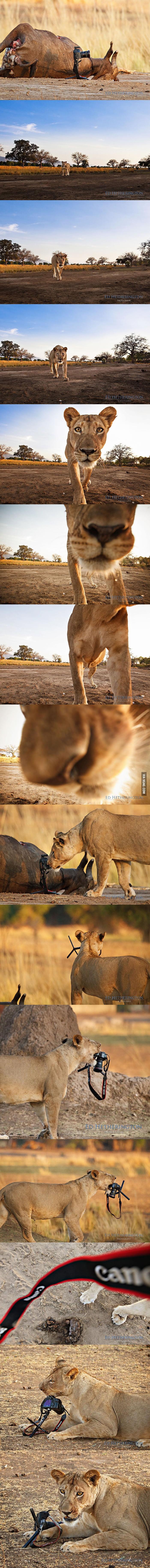 Lion stealing camera.