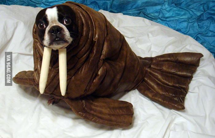 I am a walrus!