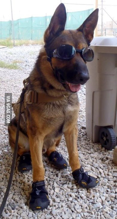 A badass bomb dog